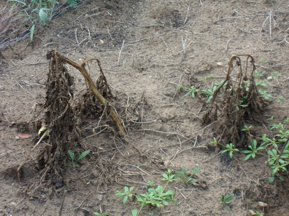 Когда копать картошку