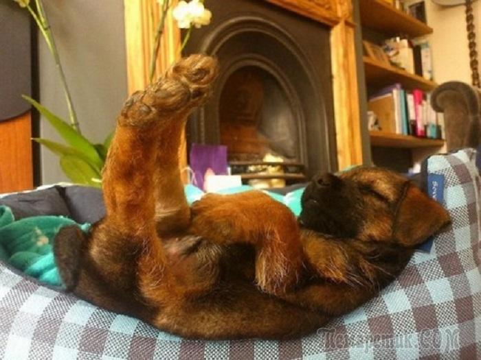 Собаки, которых внезапно сморил сон…