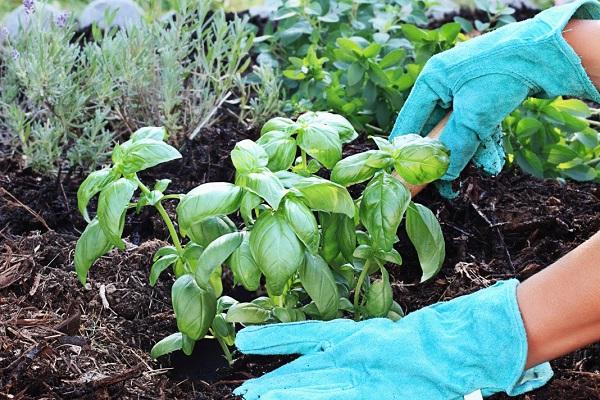 Вот что будет, если возле томатов и лука посадить базилик: потрясающий эффект!