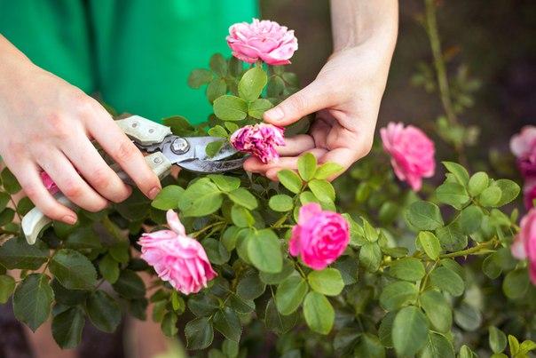 Уход за розами в домашних условиях опадают