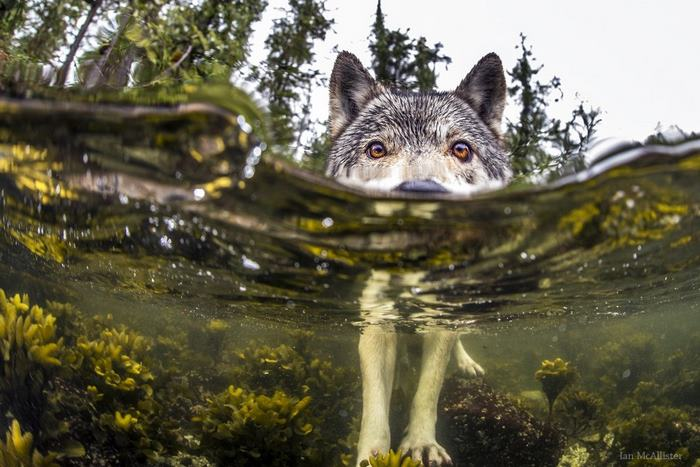 Познакомьтесь с редкими морскими волками, которые живут возле океана и плавают в нем часами