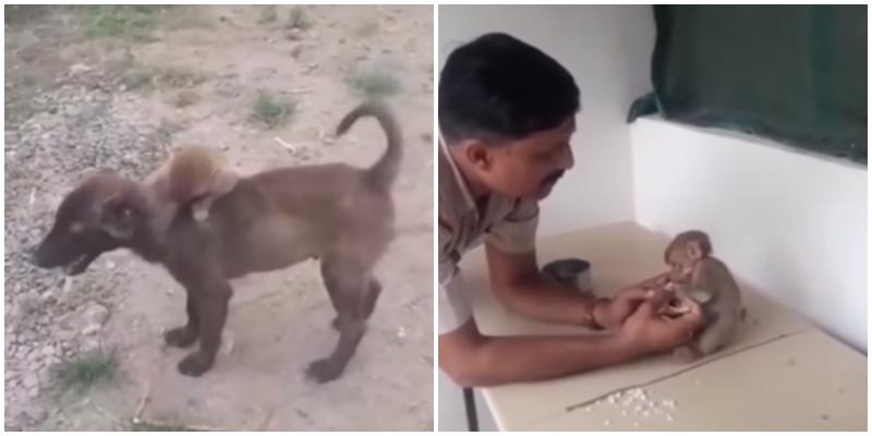 Собака спасла осиротевшую обезьянку, принеся её в полицейский участок