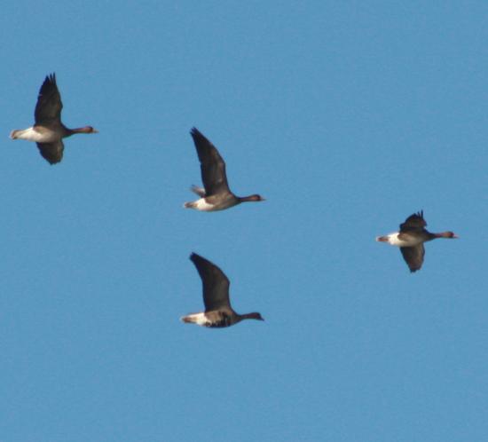 Вот и гуси полетели к гнездовьям