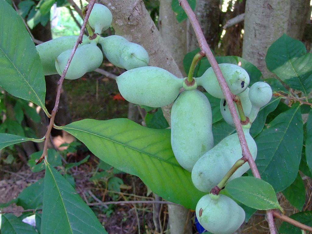 Азимина трехлопастная (банановое дерево): выращивание и сорта