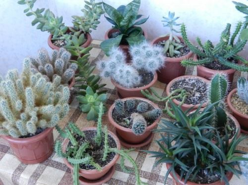 Суккулентные растения - симпатичные жители подоконников