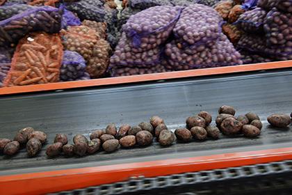 Россия столкнулась с перепроизводством картофеля