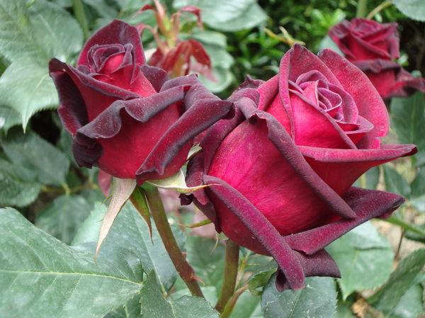 Роза сорт Чатыр-Даг