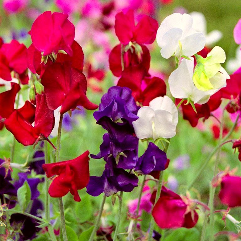 Радужные цвета душистого горошка