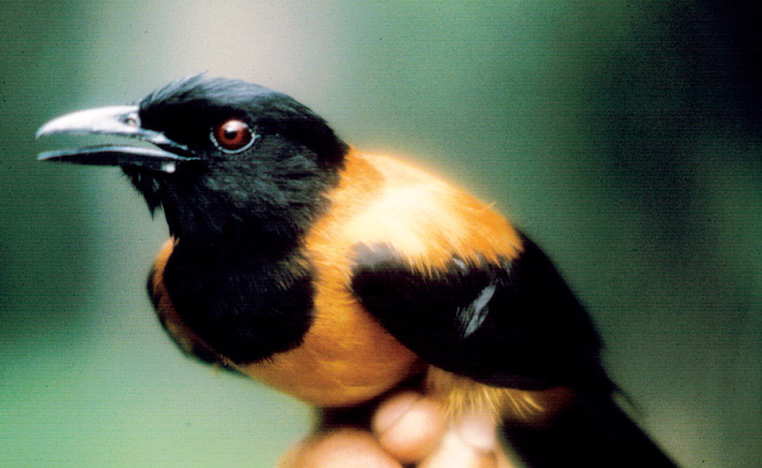 Питохуи: самая ядовитая птица планеты