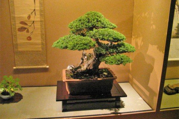 Отлично смотрится дерево бонсай на деревянной или кованой подставке