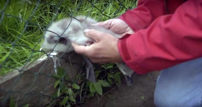 Спасение лебедя, застрявшего в сетке