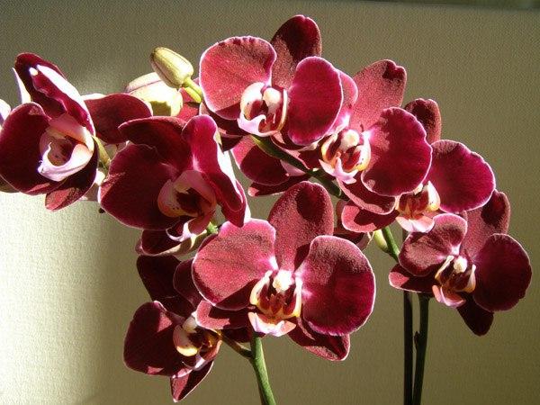 Размножение фаленопсиса: умножаем красоту.