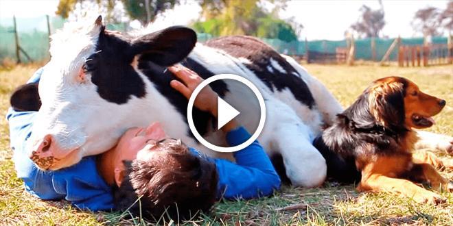 Благодарная корова которую спасли от бойни