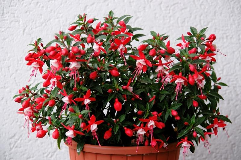 Домашний цветок фуксия уход в домашних условиях