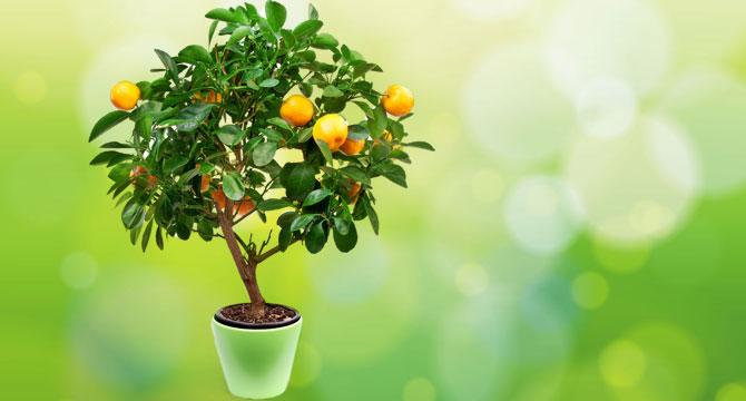 Лимонное дерево из косточки