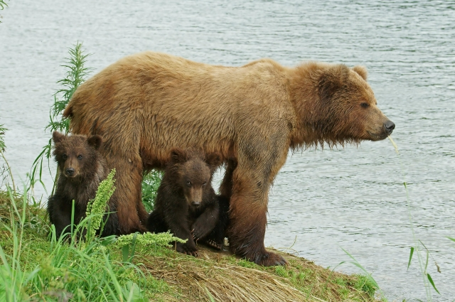 Медведица воспитывает детенышей самостоятельно, без участия самца.