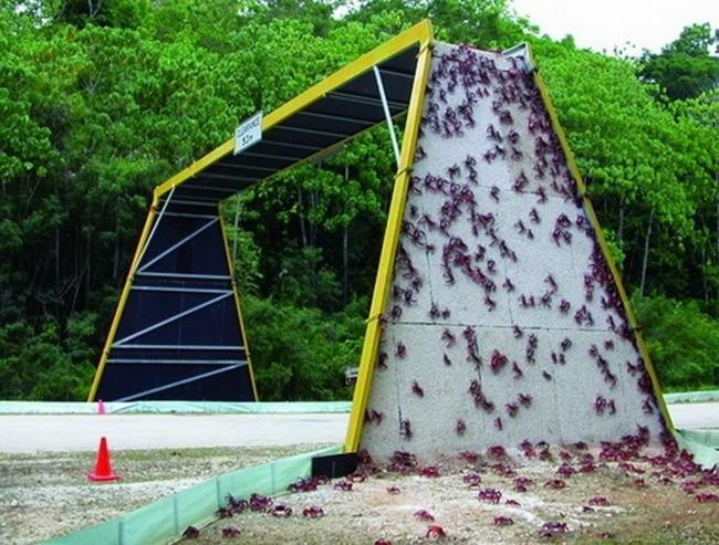 Мост для миграции крабов в Австралии доброта, животные, мир