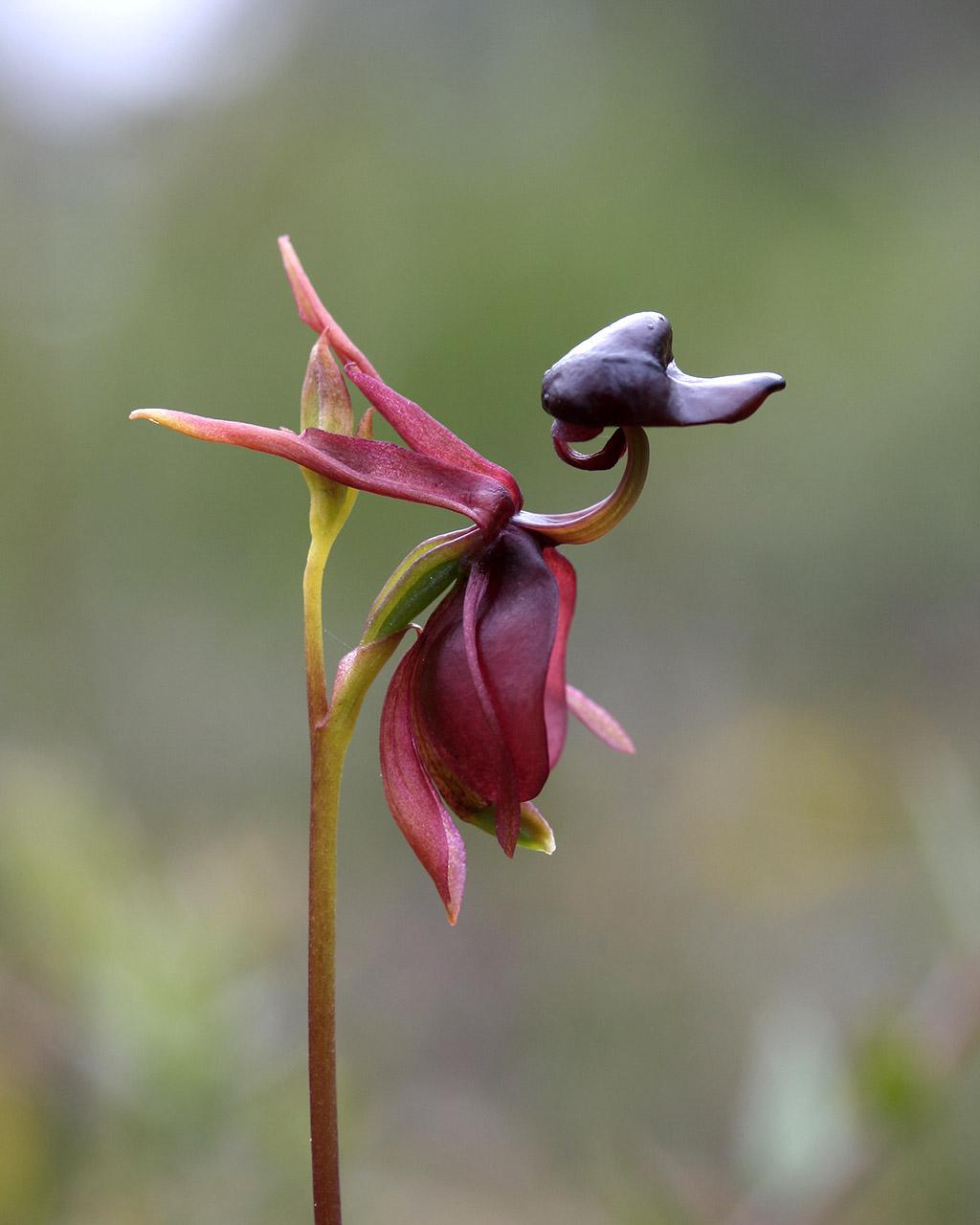 орхидея летящая уточка