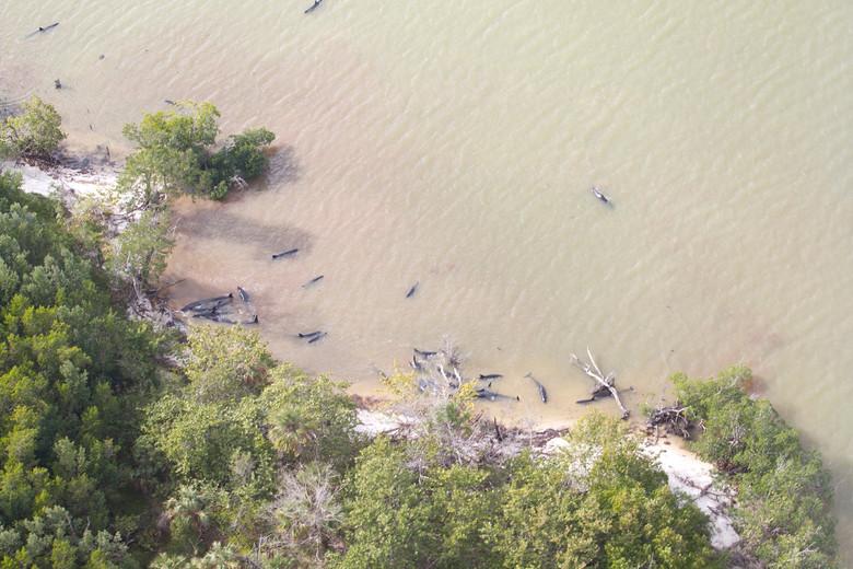 Почти сто малых косаток по непонятной причине выбросились на мель у берегов Флориды