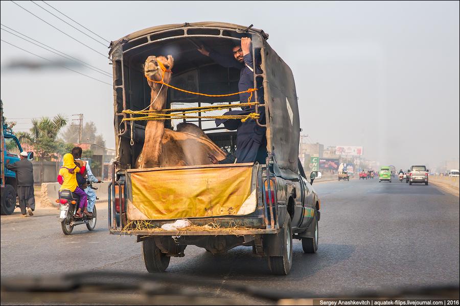 Лайфхак от пакистанских путешественников. Про верблюда
