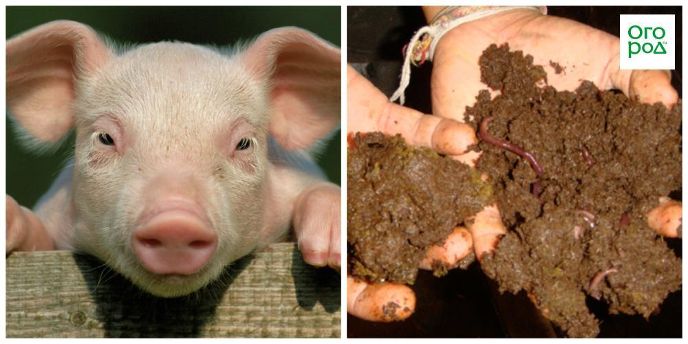 Как удобрять свиным навозом