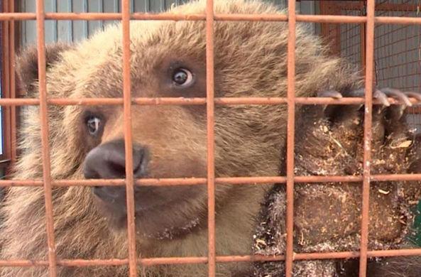 На Камчатке спасли медвежонка-сироту