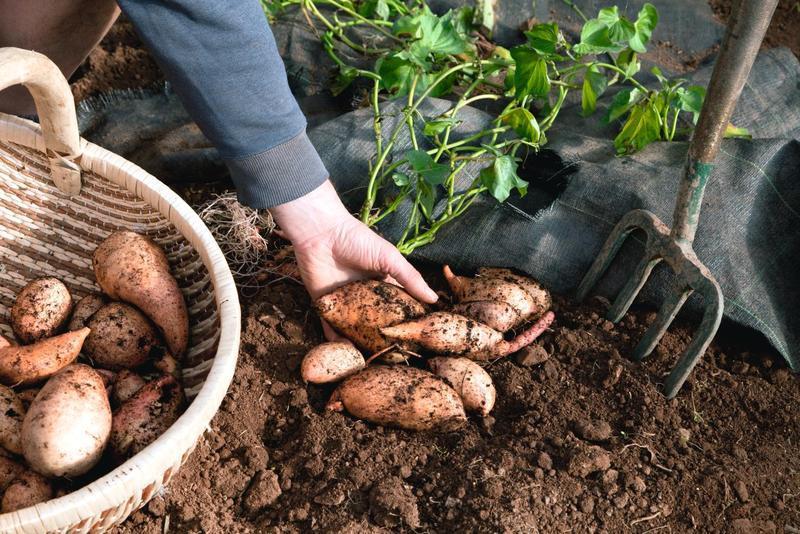 Агротехника батата в средней полосе: грядка и посадка