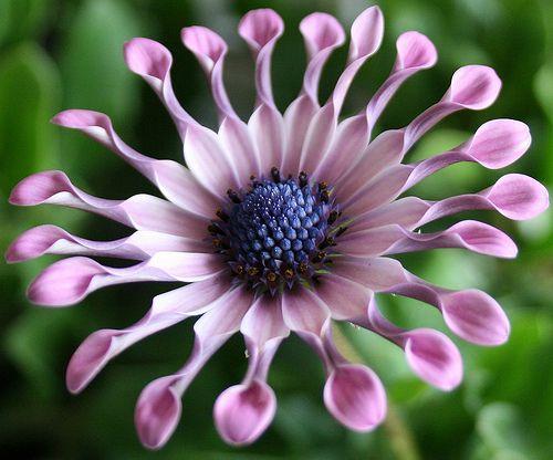 Остеоспермум – красивейшее декоративное растение
