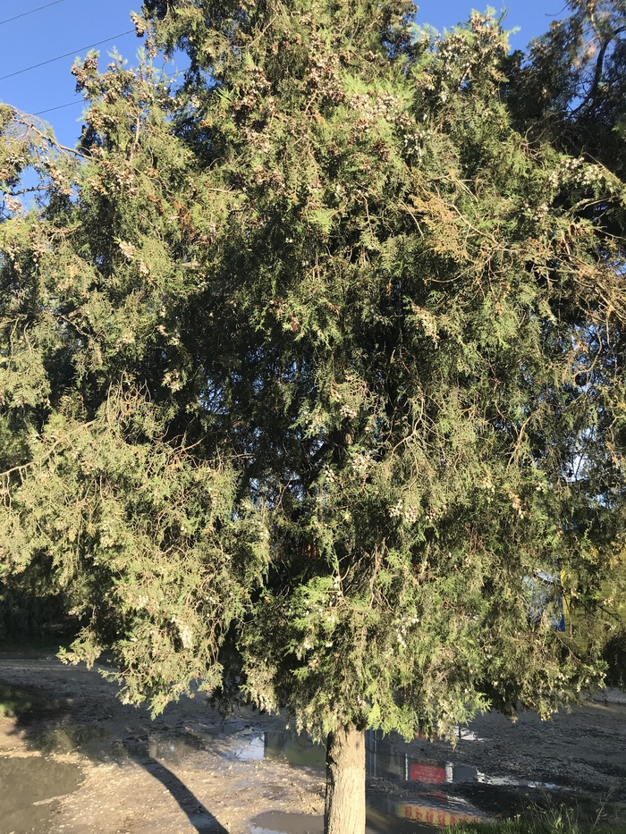 Дерево из семечка. Проект, который переживет все, что можно представить. туя, дерево, рождениежизни, питомец, моезелененькое, длиннопост