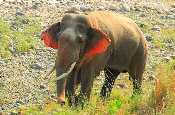 Слона с красными ушами заметили в Индии