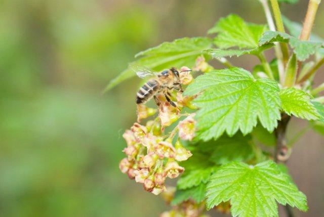 Смородину опыляют пчелы