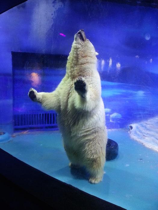 Пицца, полярный медведь в одном из китайских зоопарков.