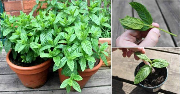 12 причин, по которым вы должны выращивать мяту дома и как это сделать