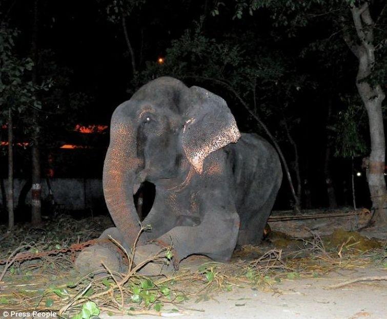 Radga01 Спасение слона, проведшего 50 лет в неволе, который плакал от счастья