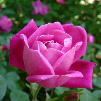 Редкие сорта роз с фото и названиями