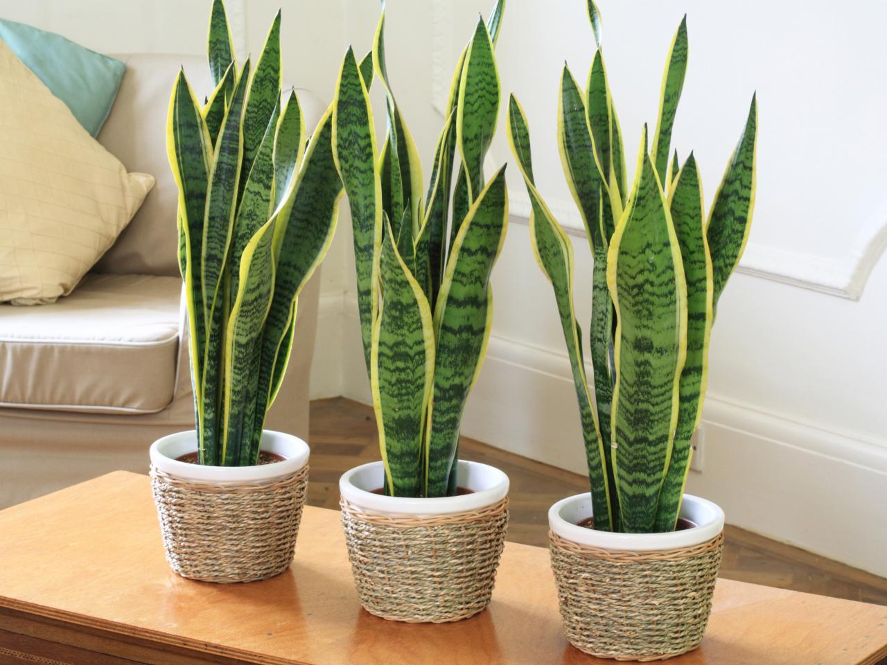 Комнатное растение Сансевиерия или Тёщин язык