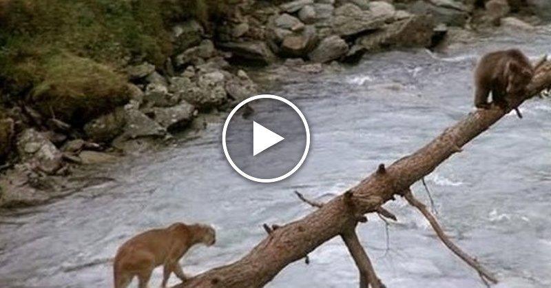 Медведь спас медвежонка от пумы