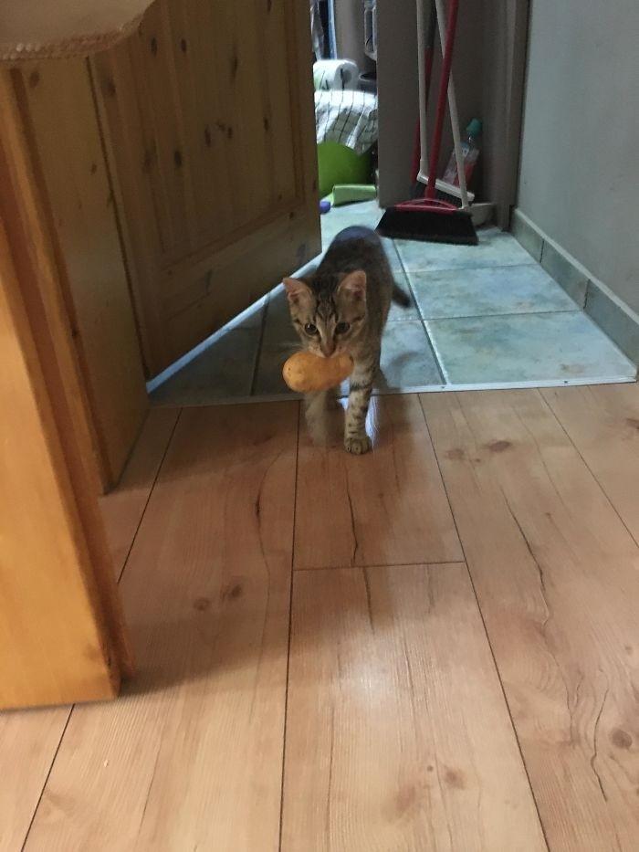 """""""Мой кот украл картофель и теперь носит его в зубах"""" кошки, приколы, прикольные фото животных, смешные кошки"""