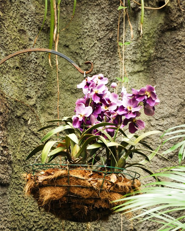 Пересадите орхидею в корзинку - пышное цветение гарантировано