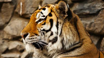 В Приморье тигр растерзал охотника