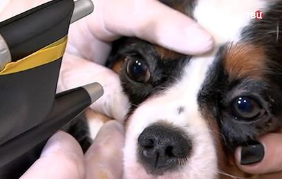 Московские ветеринары удалили катаракту у лори
