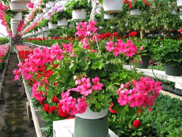 Розовый цвет герани