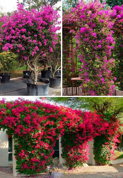 Бугенвиллия садовая фото уход посадка садовая