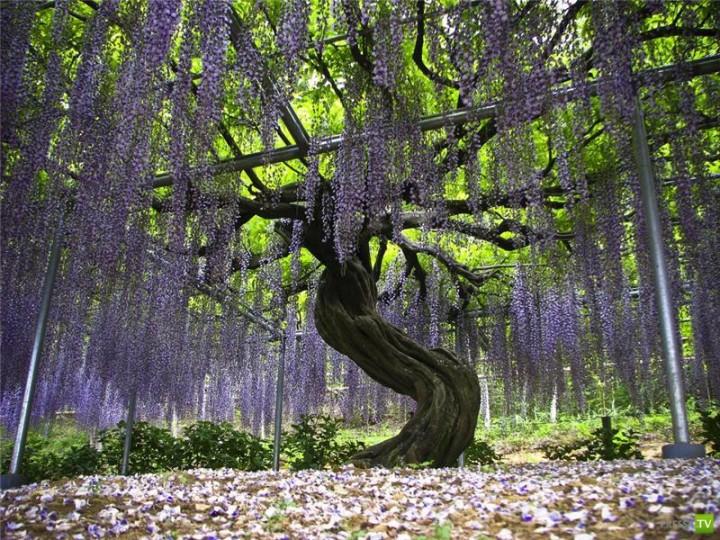 "Японский сад цветов ""Кавати Фужи"""