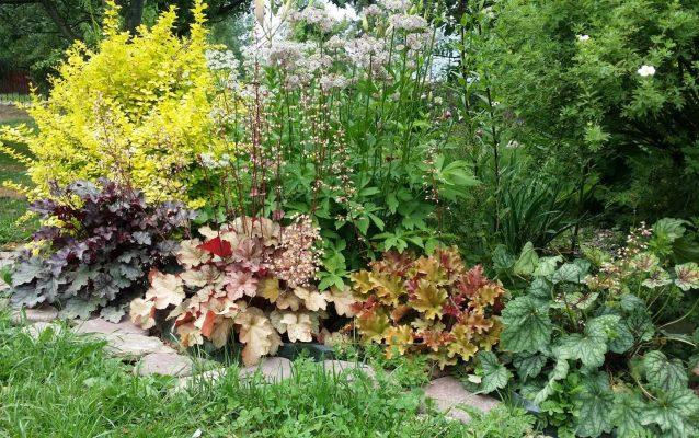 Гейхера — горная красотка с оригинальной листвой