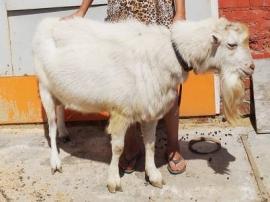 В Перми живет козел, который дает молоко