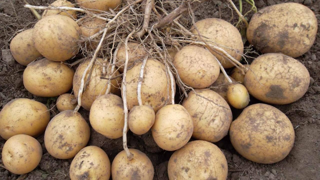 Самые урожайные сорта картофеля.