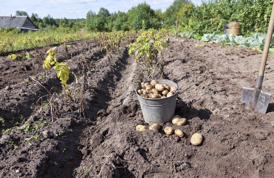 Выкопали картошку — надо еще и обработать землю