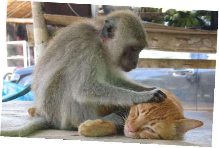 Обезьянка делает массаж котику!
