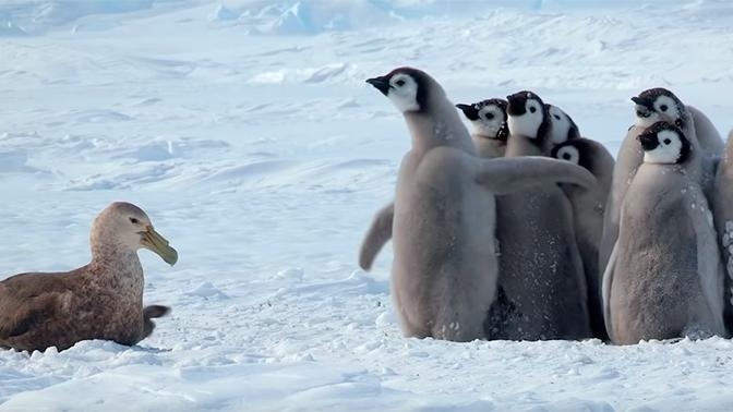 Буревестник попытался напасть на пингвина. Посмотрите, как отреагировали его собратья
